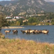 Cow Elk in Lake Estes - Stock Photo