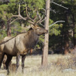 Nice Bull Elk - Stock Photo