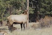 Nice Bull Elk — Stock Photo