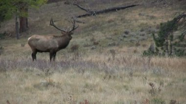 Bull elk bugling in carreggiata — Video Stock