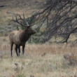 Bull Elk in Rut — Stock Video #13872205