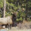 Bull Elk in Rut — Stock Photo #13889526