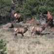 Bull Elk and Cow in Rut — Stock Video #13921203