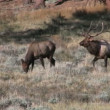 Bull Elk Bugling in Rut — Stock Video #13979062