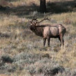 Bull Elk Bugling in Rut — Stock Video #13980318
