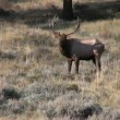 Bull Elk in Rut — Stock Video #13981726