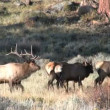 Bull Elk in Rut — Stock Video #14007960