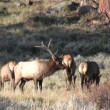 Bull Elk in Rut — Stock Video #14008029