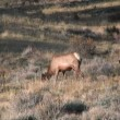 Bull Elk in Rut — Stock Video #14123971