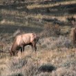 Elk in Rut — Stock Video #14126942