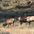 Elk in Rut — Stock Video #14128748