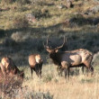 Elk in Rut — Stock Video #14130655