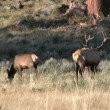 Elk in Rut — Stock Video #14131537