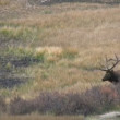 Bull Elk in Rut — Stock Video #14134121
