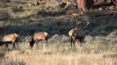 Elk in Rut — Stock Video