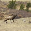 Bull Elk Bugling in Rut — Stock Photo #14597225