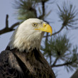 Bald Eagle Portrait — Stock Photo