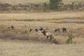 Bull Elk And Cows in Rut — Stock Photo