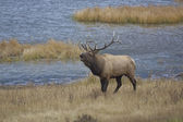 Bull Elk Bugling — Stock Photo