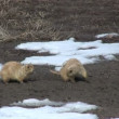 Stock Video: Prairie Dog