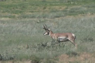 Pronghorn Antelope Buck — Stock Video
