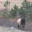 Bull Elk Rut — Stock Video #19950177