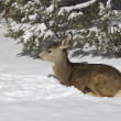 Mule Deer Bedded in Snow — Stock Photo #20205885
