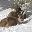 Mule Deer Bedded in Snow — Stock Photo #20205957