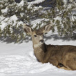 Mule Deer Bedded in Snow — Stock Photo