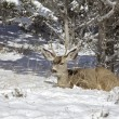Mule Deer Buck in Snow — Stock Photo