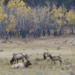 Elk Herd — Stock Photo #20307175