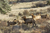 Cow Elk Herd — Stock Photo
