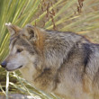 Mexican Wolf - Stock Photo