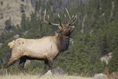 Nice Bull Elk — Foto de Stock