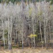 Aspen Grove — Stock Photo #22008957