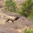Royalty-Free Stock Photo: Bull Elk in Rut