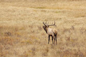 Bull Elk in Rut — Stock Photo