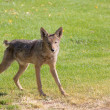 Coyote on Alert - Stock Photo