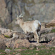 Stock Photo: Bighorn Ewe and Lamb