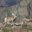 Bighorn Sheep Ewe — Stock Photo #27579483