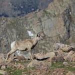 Bighorn Sheep Ewe — Stock Photo