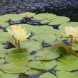 Flowering Lilly Pad — Stock Photo