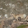 Bighorn Sheep Ewe and Lamb — Stock Photo
