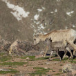 Stock Photo: Bighorn Sheep Ewe