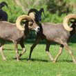 Desert Bighorn Rams — Stock Photo