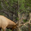Stock Photo: Bull Elk