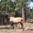 Bull Elk Rubbing — Stock Video