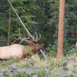 Bull Elk in Rut — Stock Photo #33200213