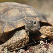 Stock Photo: Desert Tortoise