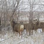 Mule Deer in Rut — Stock Photo #36845631